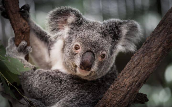 koala on a tree australia i love veterinary