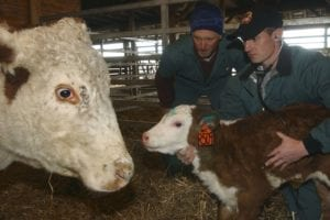 Male vet DVM working with cattle