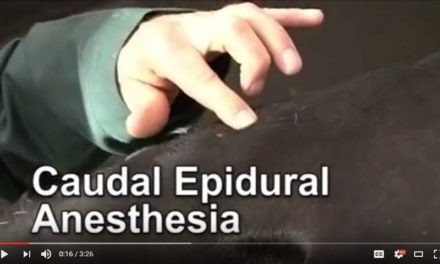 Epidural Anesthesia in Cattle