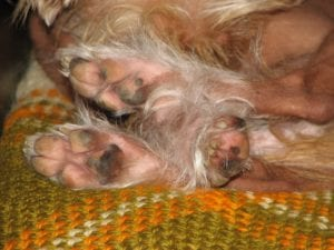 dog paws red, Why do dogs lick and chew their paws?