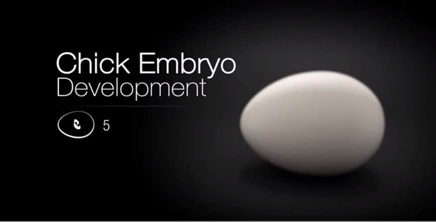 Chick embryo development video