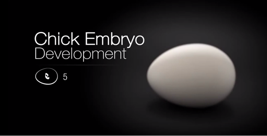 Chick Embryo Development