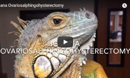 Dr. Evan Antin performing Ovariosalphingohysterectomy… On an Iguana!