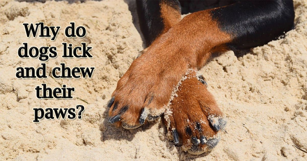 Why do dogs lick and chew their paws?