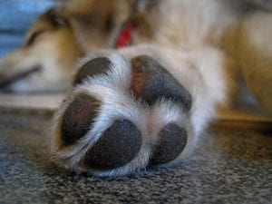 dog paws, Why do dogs lick and chew their paws?
