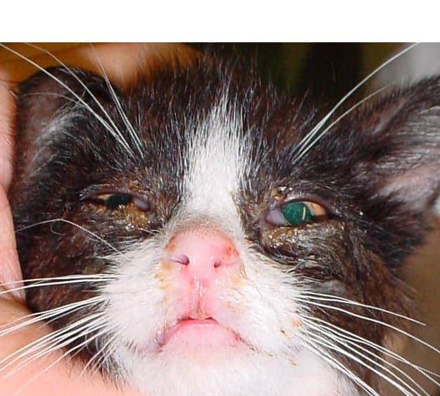 Respiratory Diseases in Cats