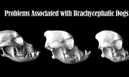 Problems Associated with Brachycephalic Dogs