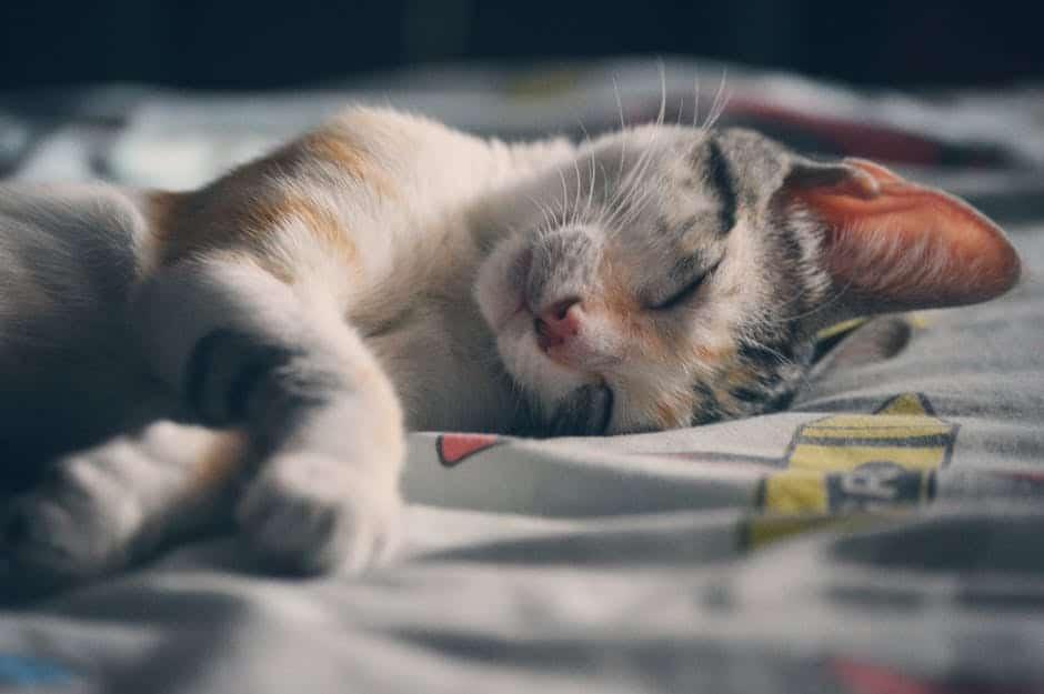 sleepy cat national cat day