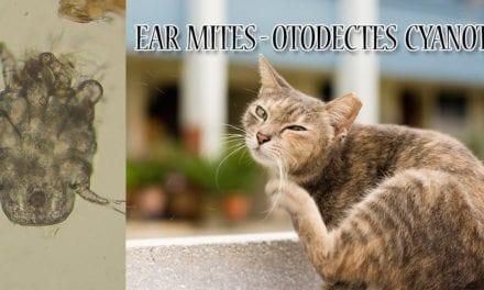 Ear mites – Otodectes cynotis