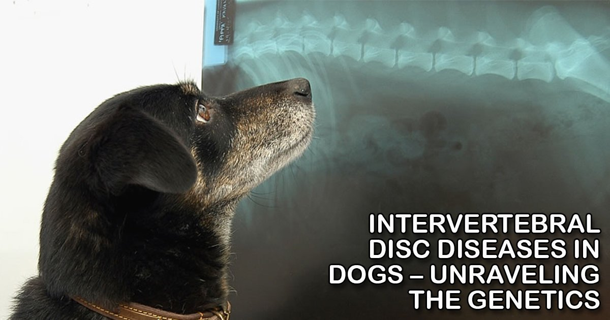 Intervertebral Disc Diseases in Dogs – Unraveling the Genetics