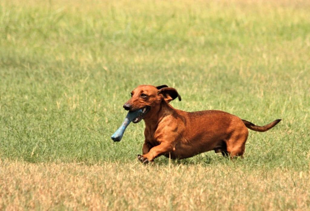 dachshund ivdd in dogs