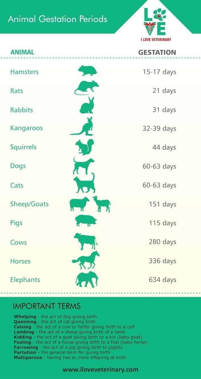 Veterinary medicine infographic on animal gestational periods