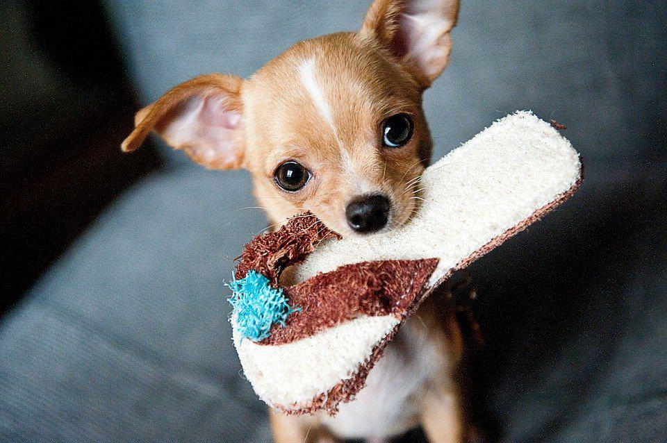 chihuahua with a toy