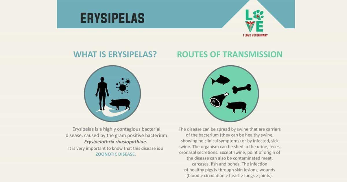 Erysipelas- Learn more!