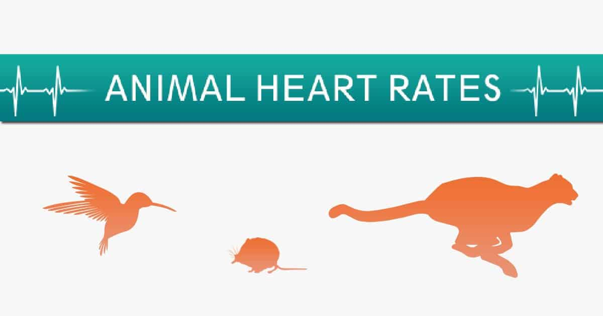 animal heart rates infographic I love veterinary
