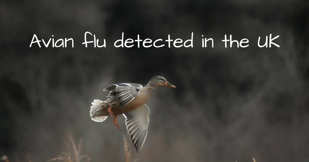 Avian flu detected in the UK