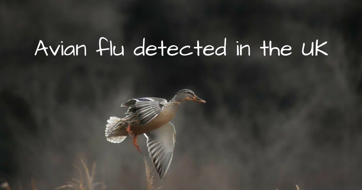Avian flu detected in the UK