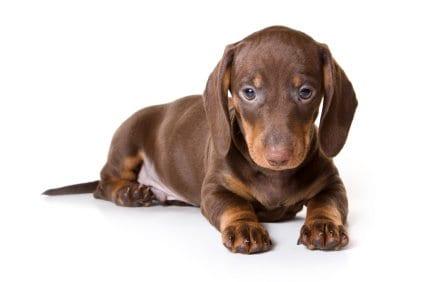 myasthenia gravis in dogs, dachshund