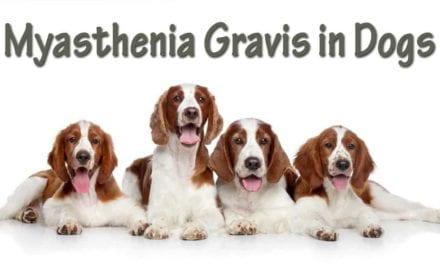 Myasthenia Gravis in Dogs