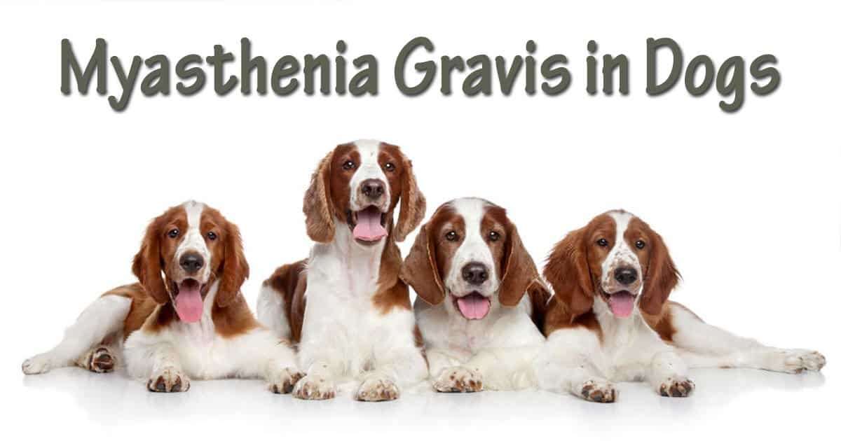 Myasthenia Gravis in dogs, springer spaniels, I Love Veterinary