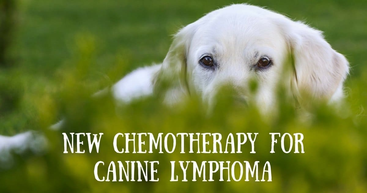 New chemotherapy for Lymphoma in Dogs
