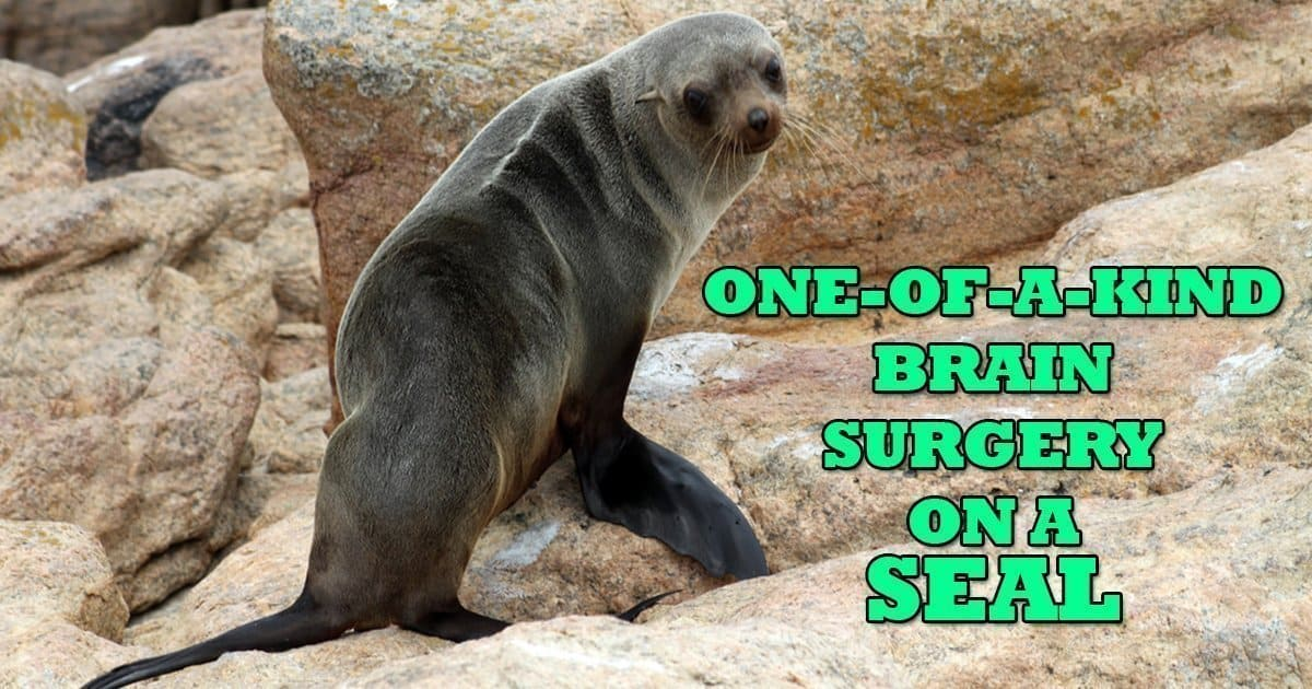 One-of-a-kind brain surgery on a seal