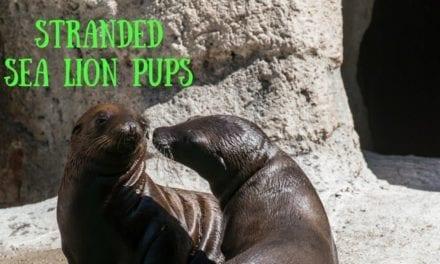 Stranded sea lion pups