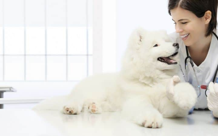 Veterinarian woman with a Samoyed puppy I Love Veterinary