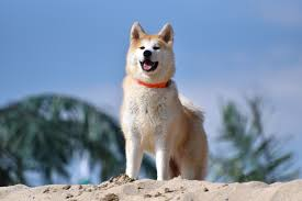 akita dog, Myasthenia Gravis in dogs, I Love Veterinary