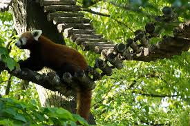 red panda, zoo veterinarian, I Love Veterinary