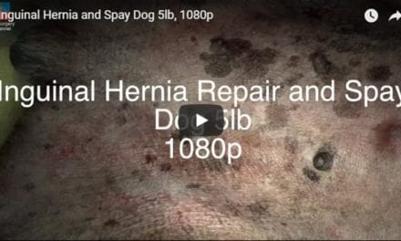 Inguinal Hernia and Spay Dog 5lb Video by Vet Surgery Channel