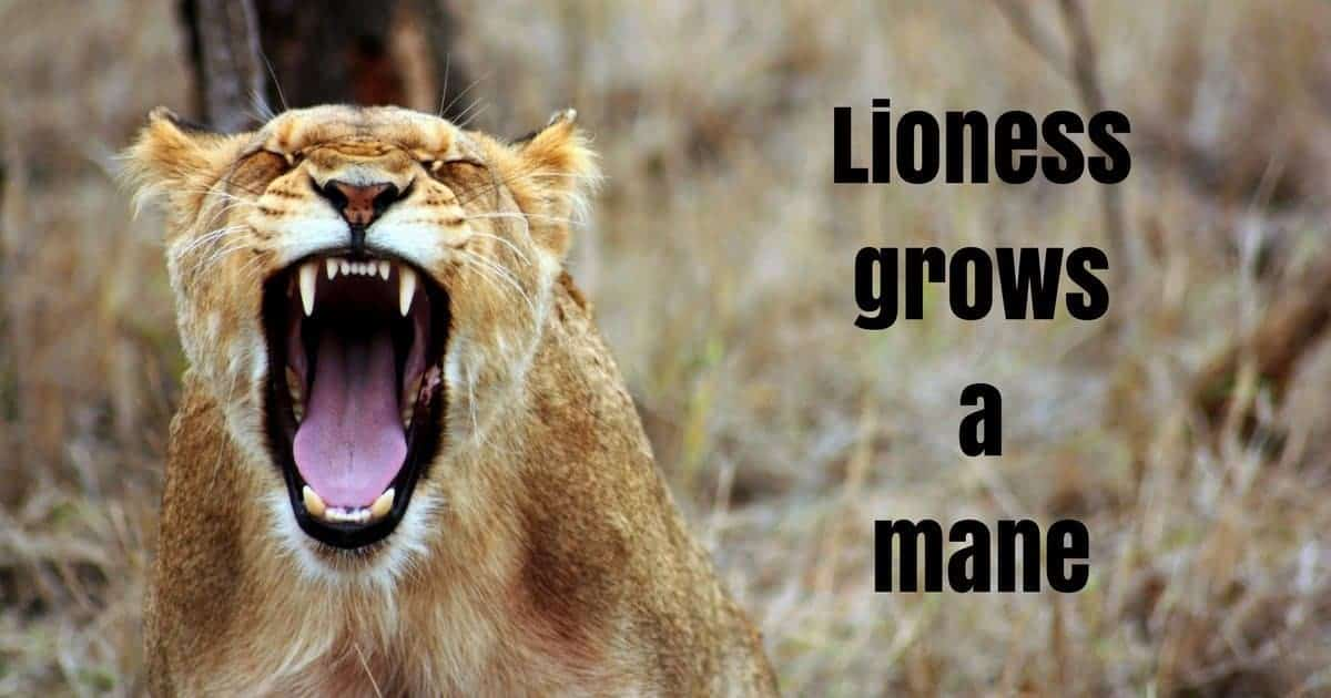 Lioness grows a mane