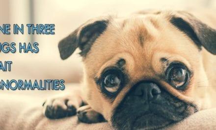One in three pugs has gait abnormalities