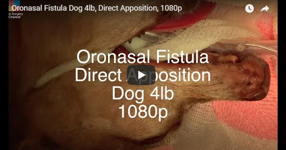 Oronasal Fistula Dog 4lb, Direct Apposition Video by Vet Surgery Channel