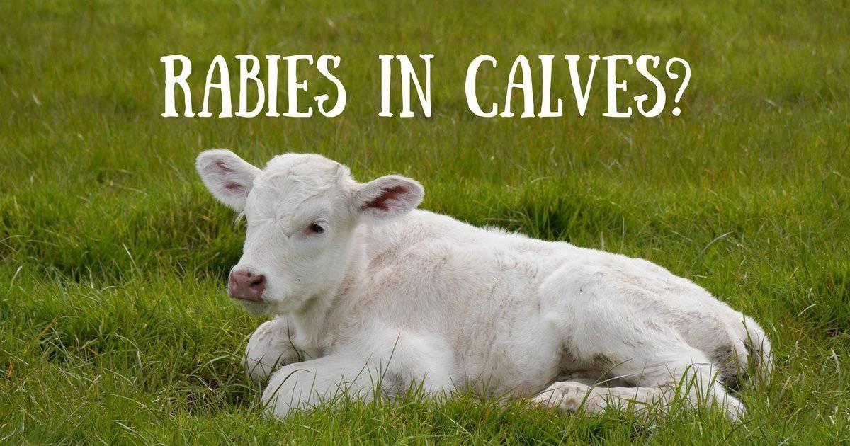 Rabies in calves?