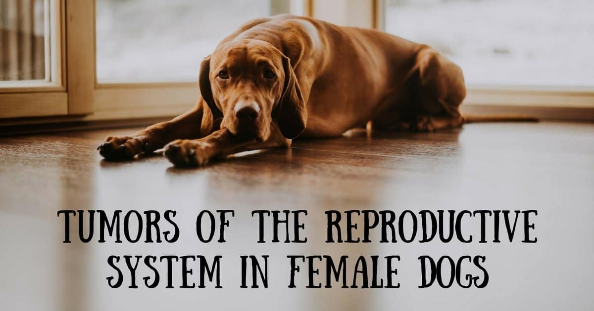 Tumors of the reproductive system in female dogs