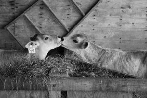calves 352589 1920 I Love Veterinary - Blog for Veterinarians, Vet Techs, Students
