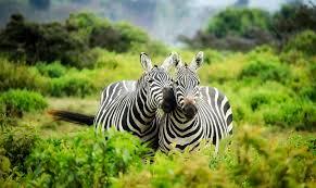 zoo zebra i love veterinary