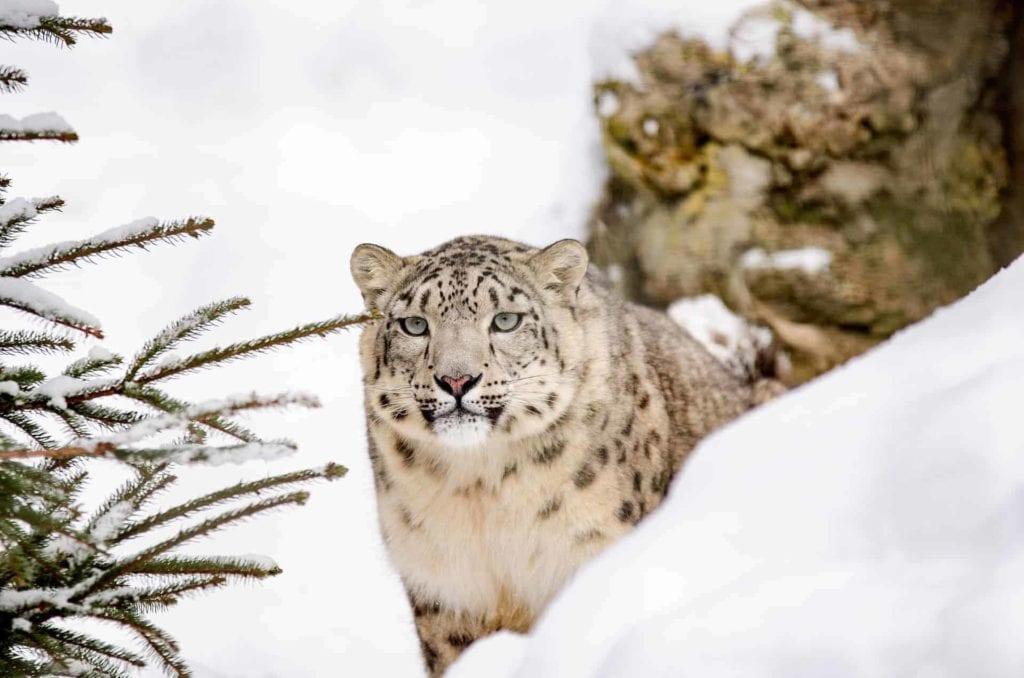 snow leopard 1985510 1920 I Love Veterinary - Blog for Veterinarians, Vet Techs, Students