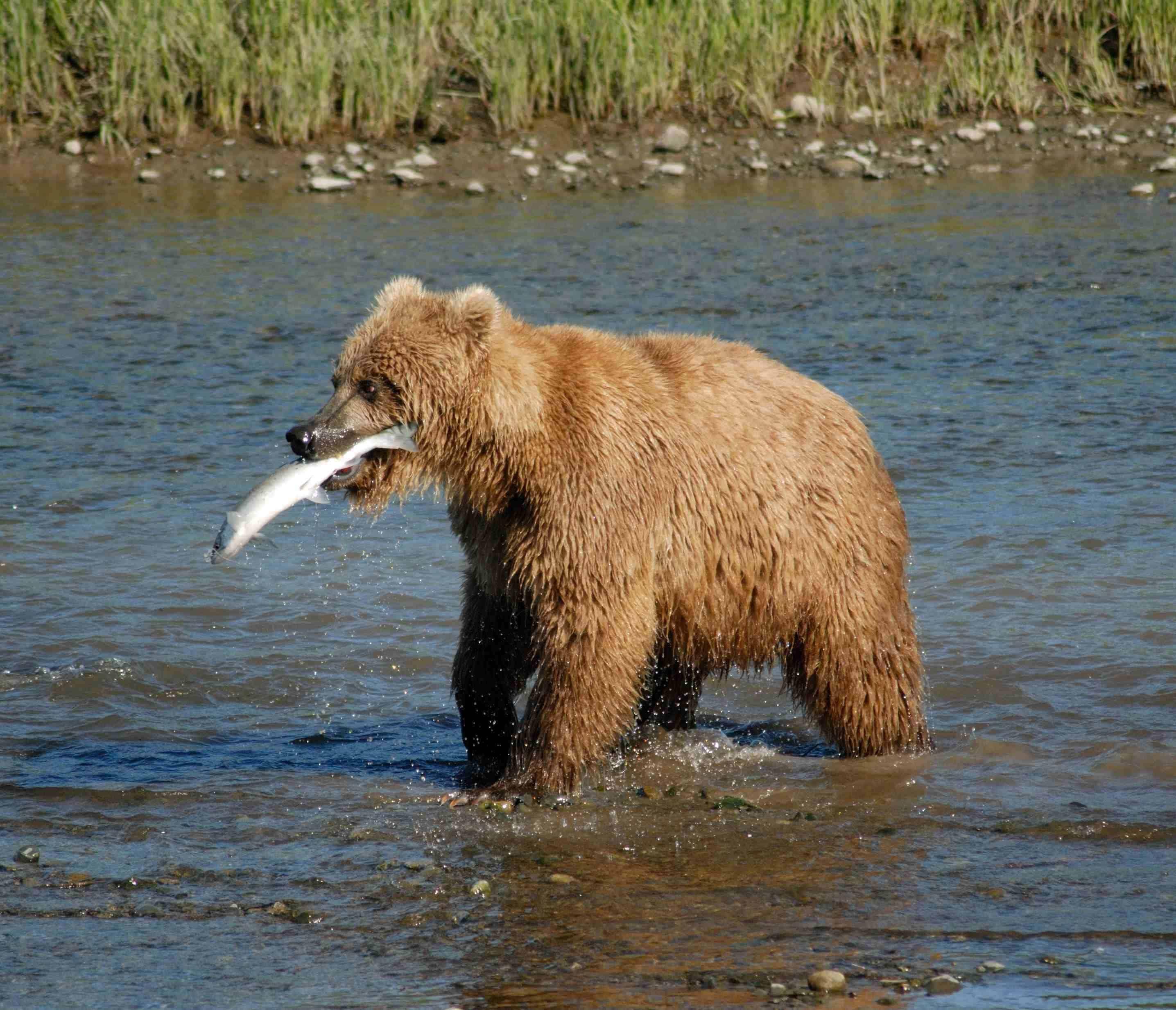 alaska externship veterinary bear