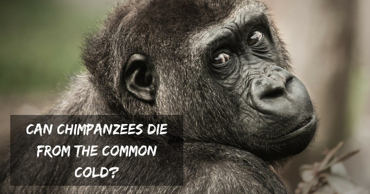 Can chimpanzees die from the common cold?