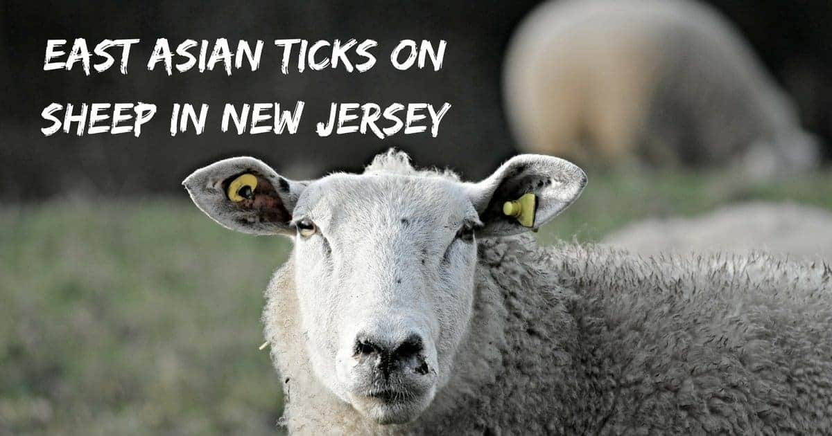 East Asian ticks on sheep in New Jersey