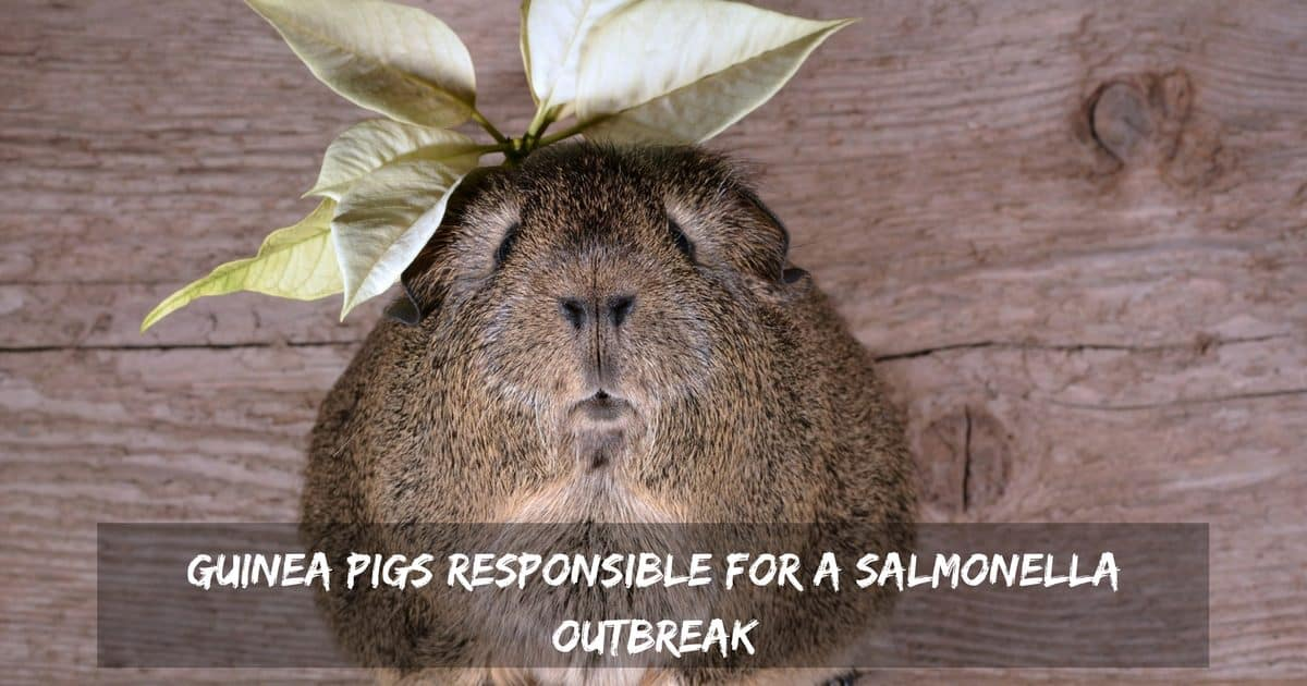 Guinea pigs responsible for a salmonella outbreak