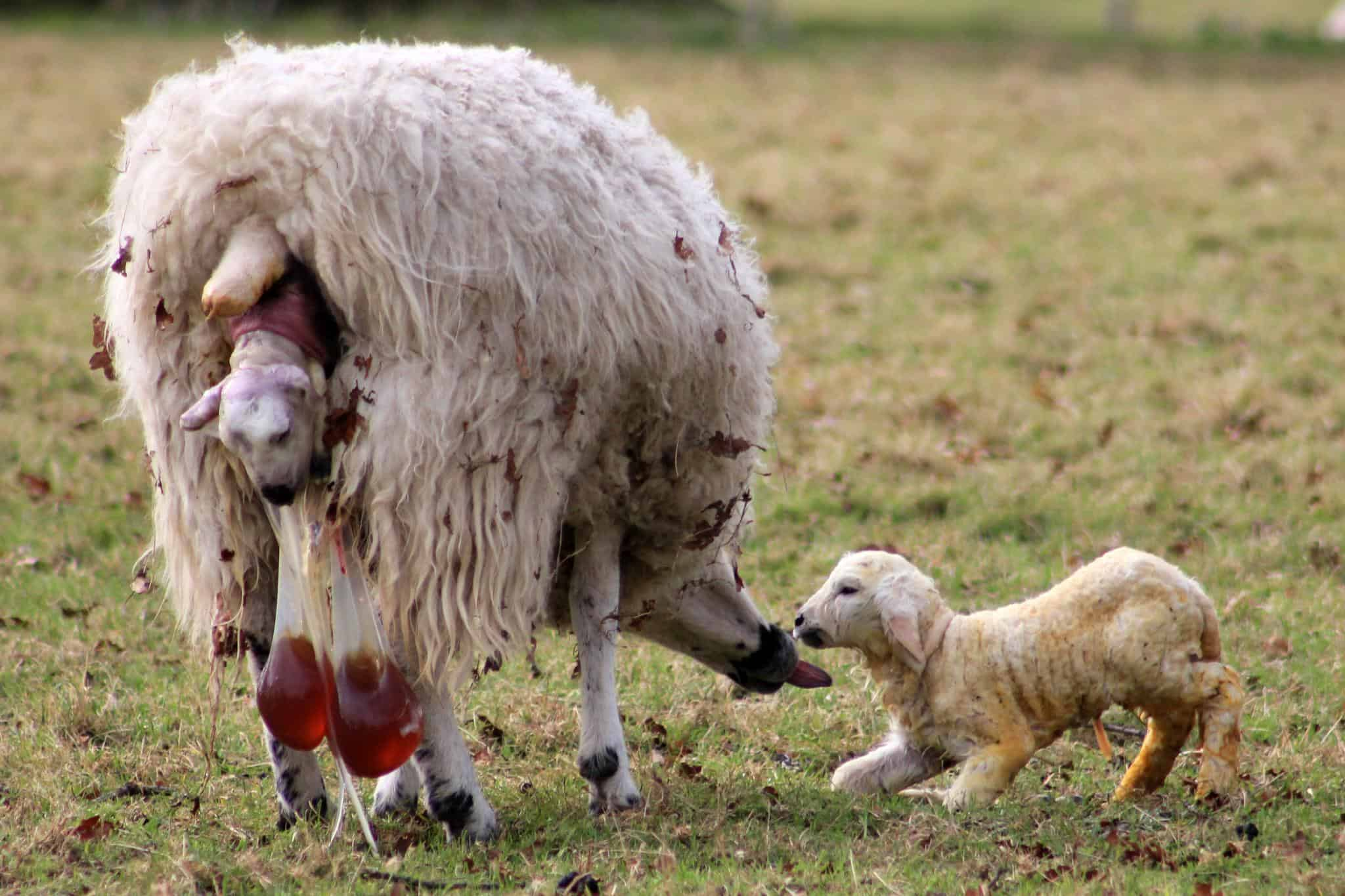 Lambing guide i love veterinary
