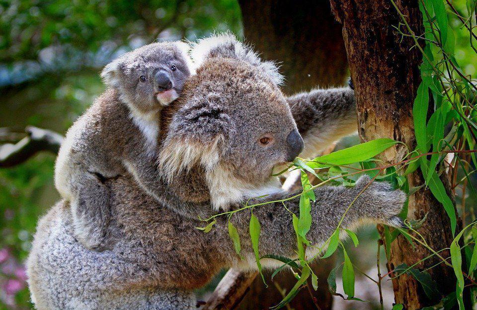 veterinary externship australia koala