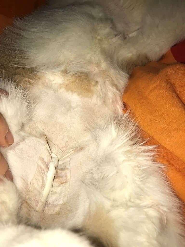 veterinary surgery vet case cat