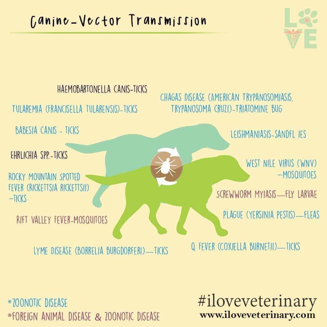 Canine vector transmission I Love Veterinary - Blog for Veterinarians, Vet Techs, Students