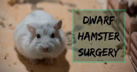 Dwarf hamster surgery