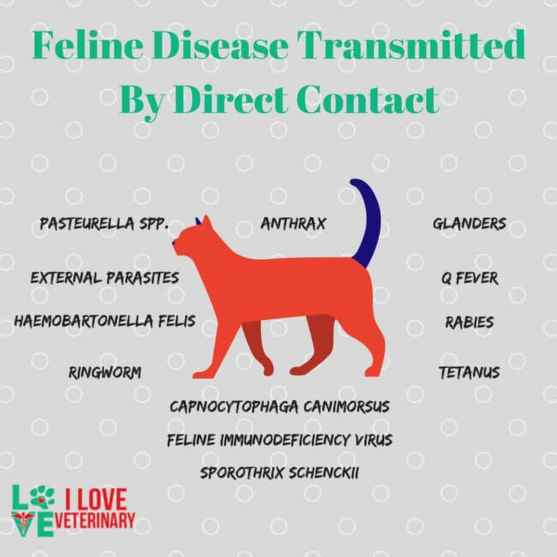 Feline Disease Transmitted By Direct Contact I Love Veterinary - Blog for Veterinarians, Vet Techs, Students