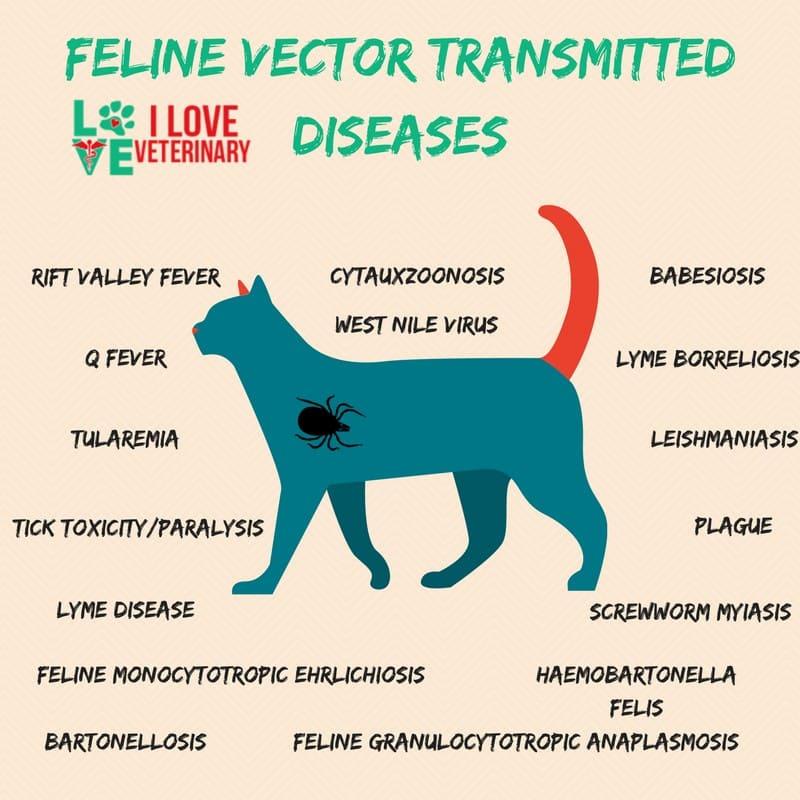 Feline Tick Borne Diseases1 I Love Veterinary - Blog for Veterinarians, Vet Techs, Students